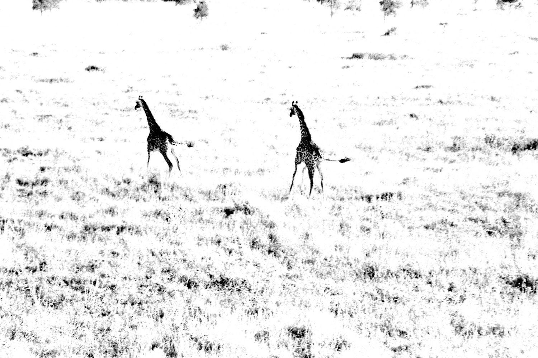 Giraffe - 1, Serengeti 2016   Edition 1 of 2