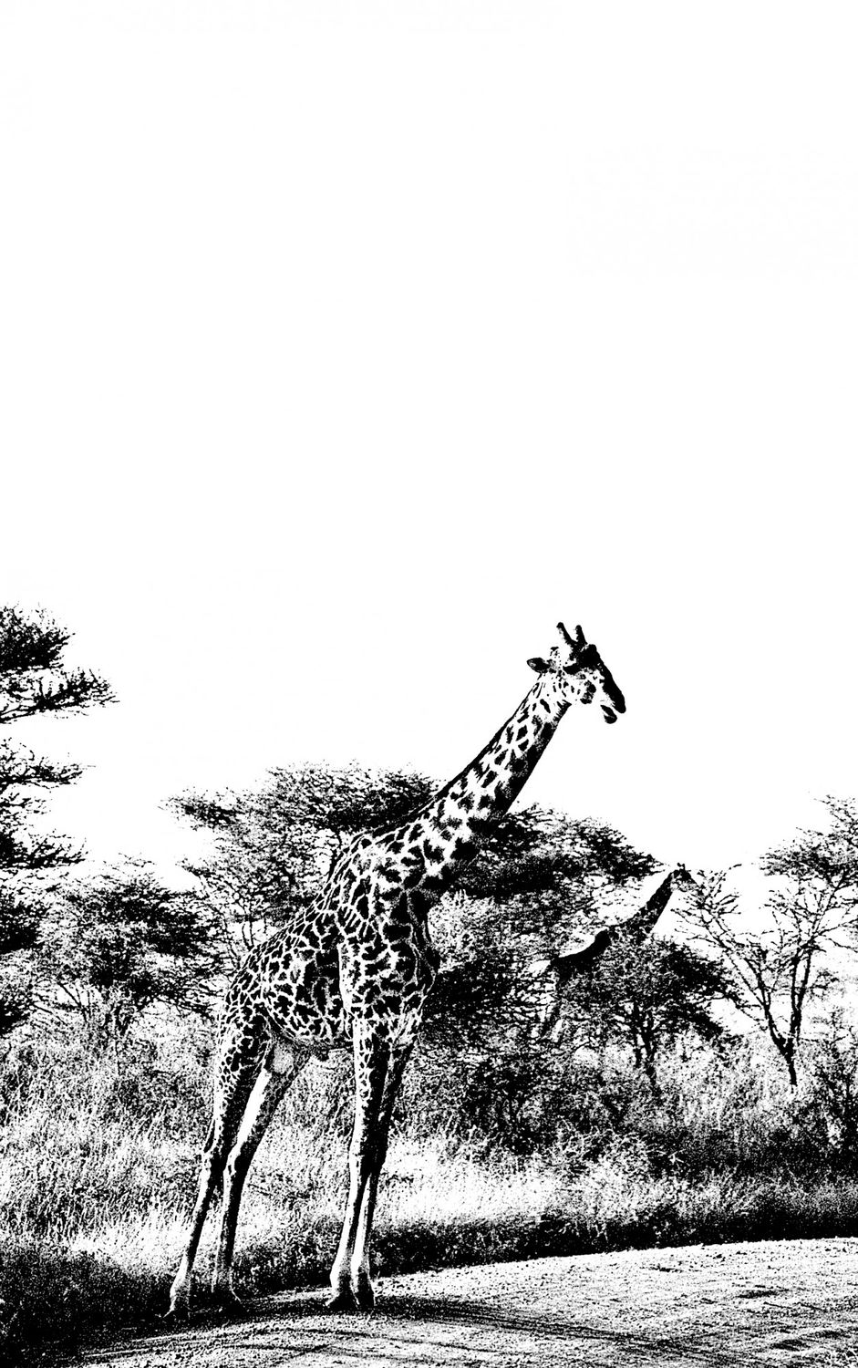 Giraffe - 3, Serengeti 2016   Edition 1 of 2