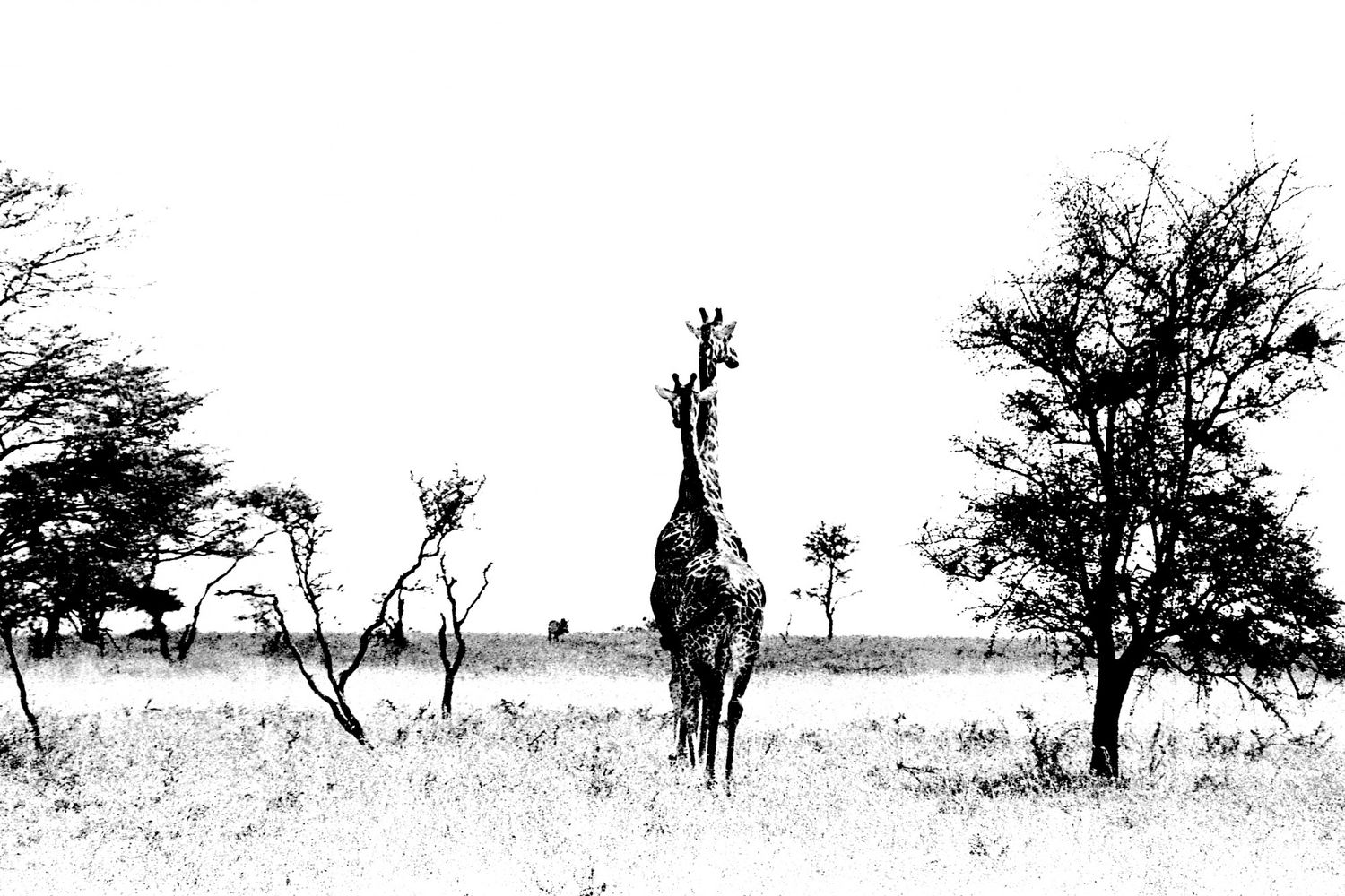 Giraffe - 2, Serengeti 2016   Edition 1 of 2
