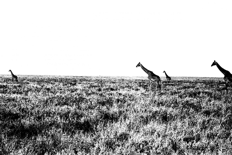 Giraffe - 4, Serengeti 2016   Edition 1 of 2