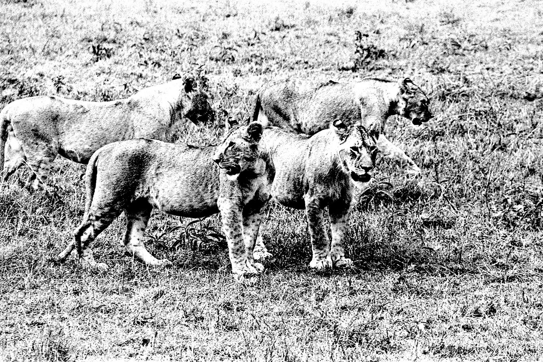Lioness - 5, Serengeti 2016   Edition 1 of 2
