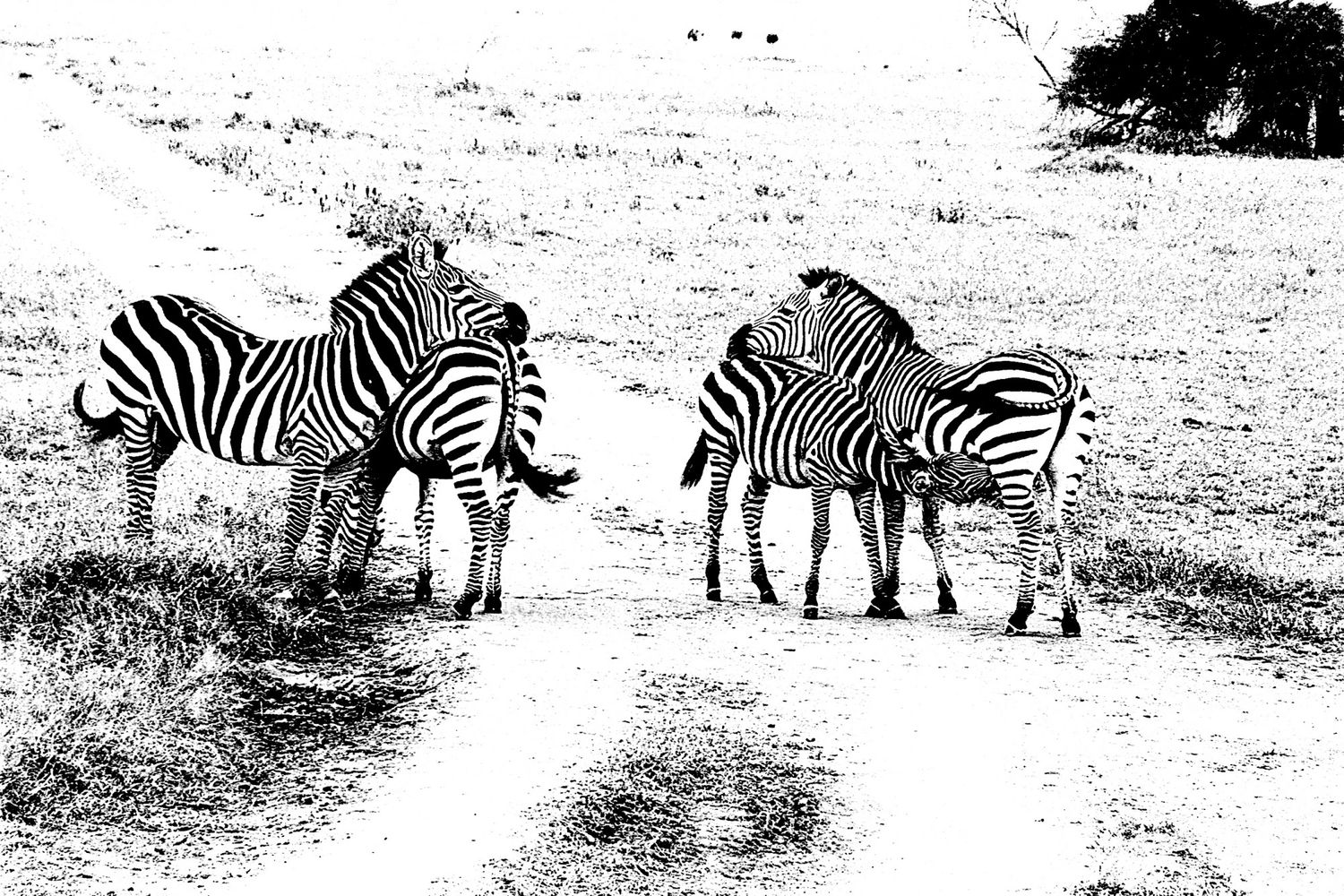 Zebra - 4, Serengeti 2016   Edition 1 of 2