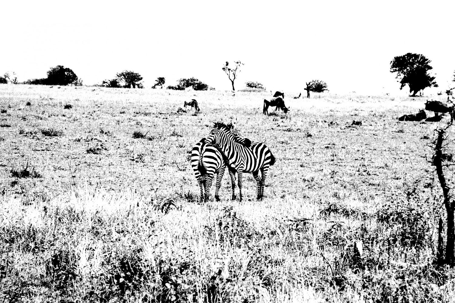 Zebra - 5, Serengeti 2016   Edition 1 of 2