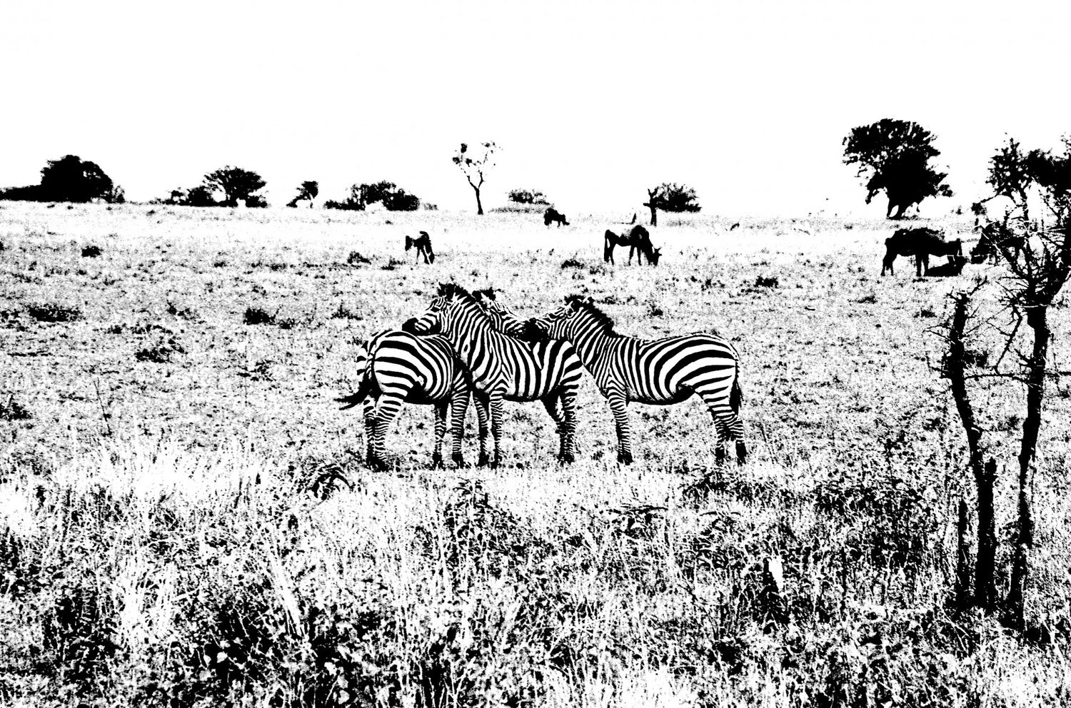 Zebra - 6, Serengeti 2016   Edition 1 of 2