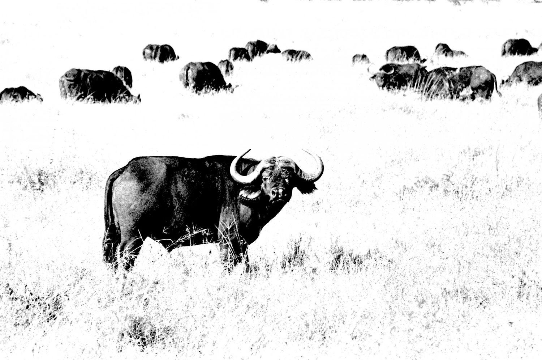 Buffalo, Serengeti 2016   Edition 1 of 2