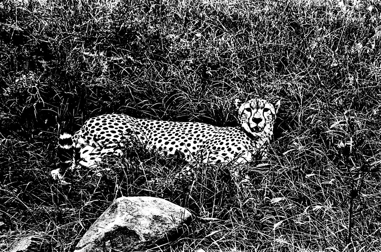Cheetah, Serengeti 2016   Edition 1 of 2