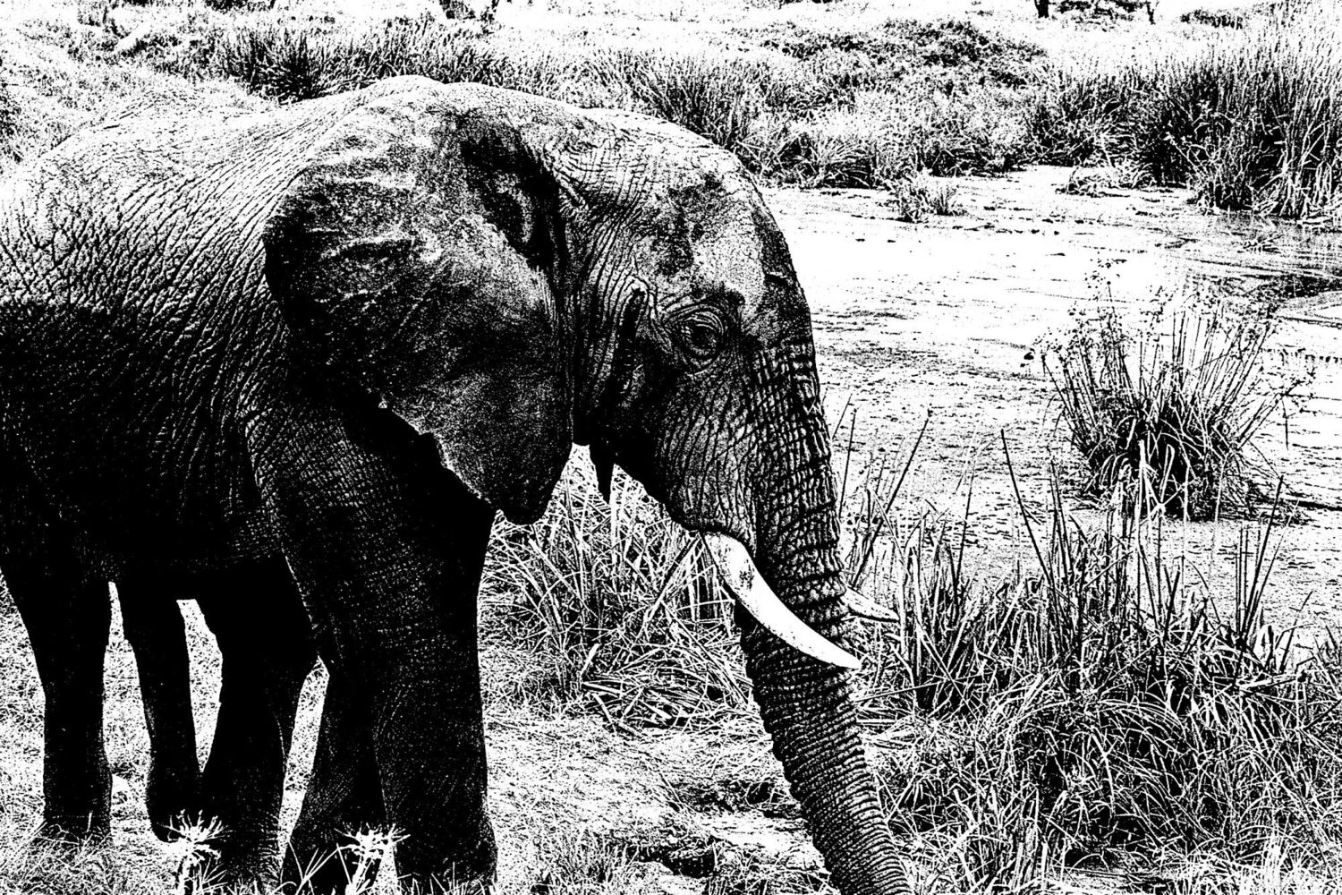 Elephant - 8, Serengeti 2016   Edition 1 of 2