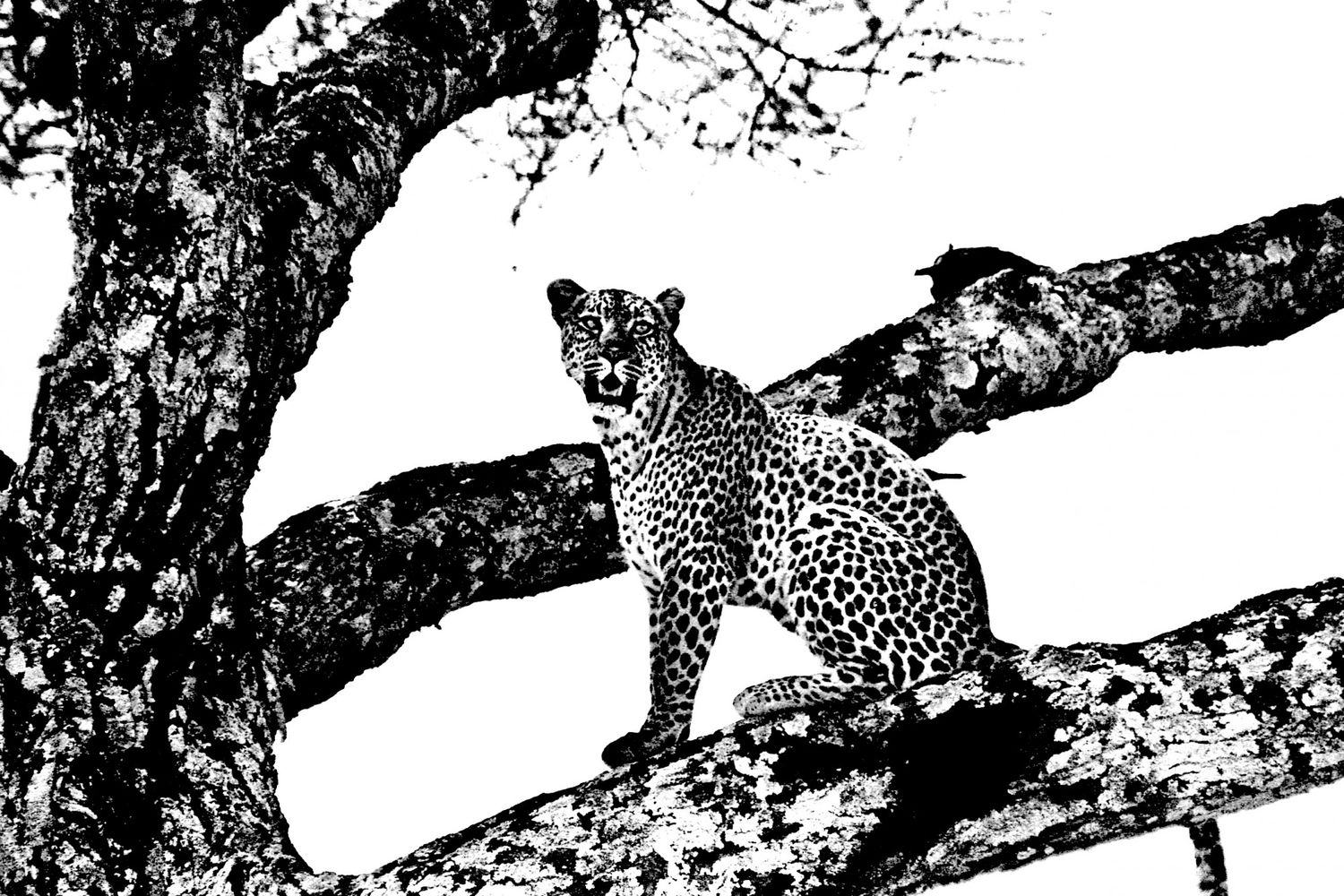 Leopard - 3, Serengeti 2016   Edition 1 of 2