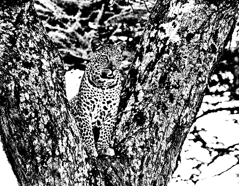 Leopard - 4, Serengeti 2016   Edition 1 of 2