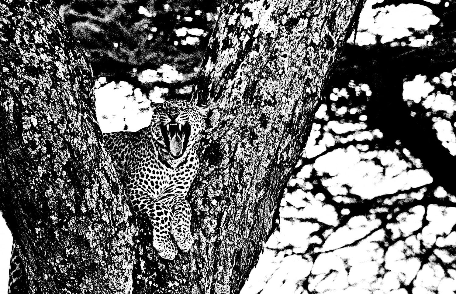 Leopard - 7, Serengeti 2016   Edition 2 of 2
