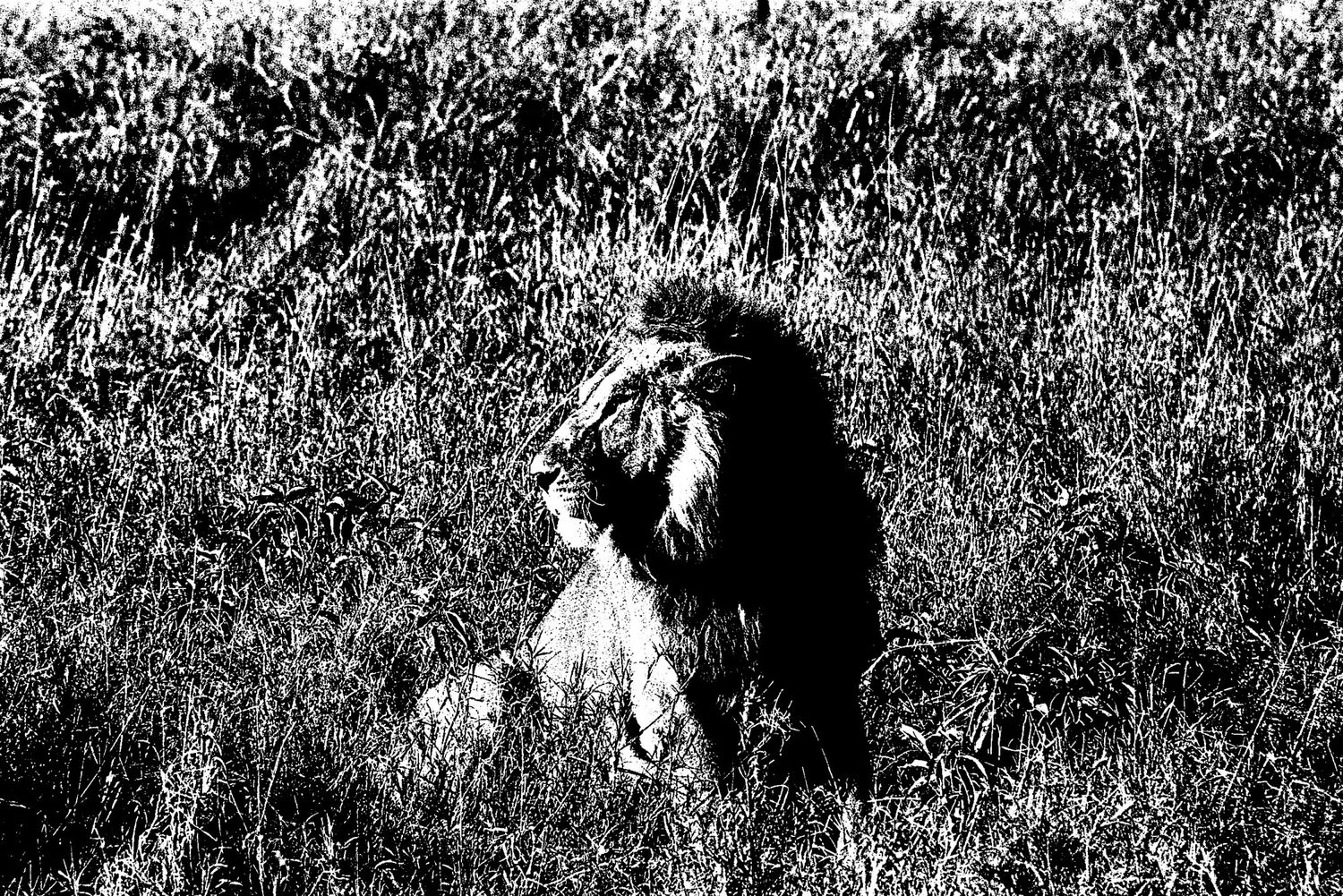 Lion - 3, Serengeti 2016   Edition 1 of 2