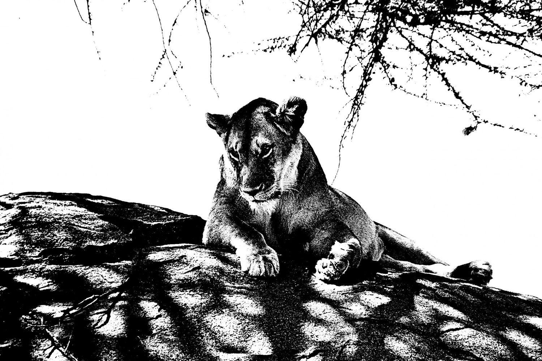 Lioness - 8, Serengeti 2016   Edition 2 of 2