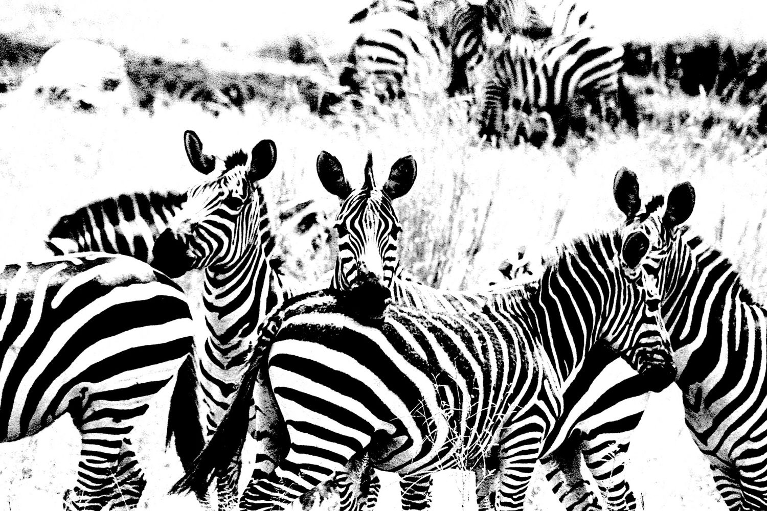Zebra - 8, Serengeti 2016   Edition 1 of 2