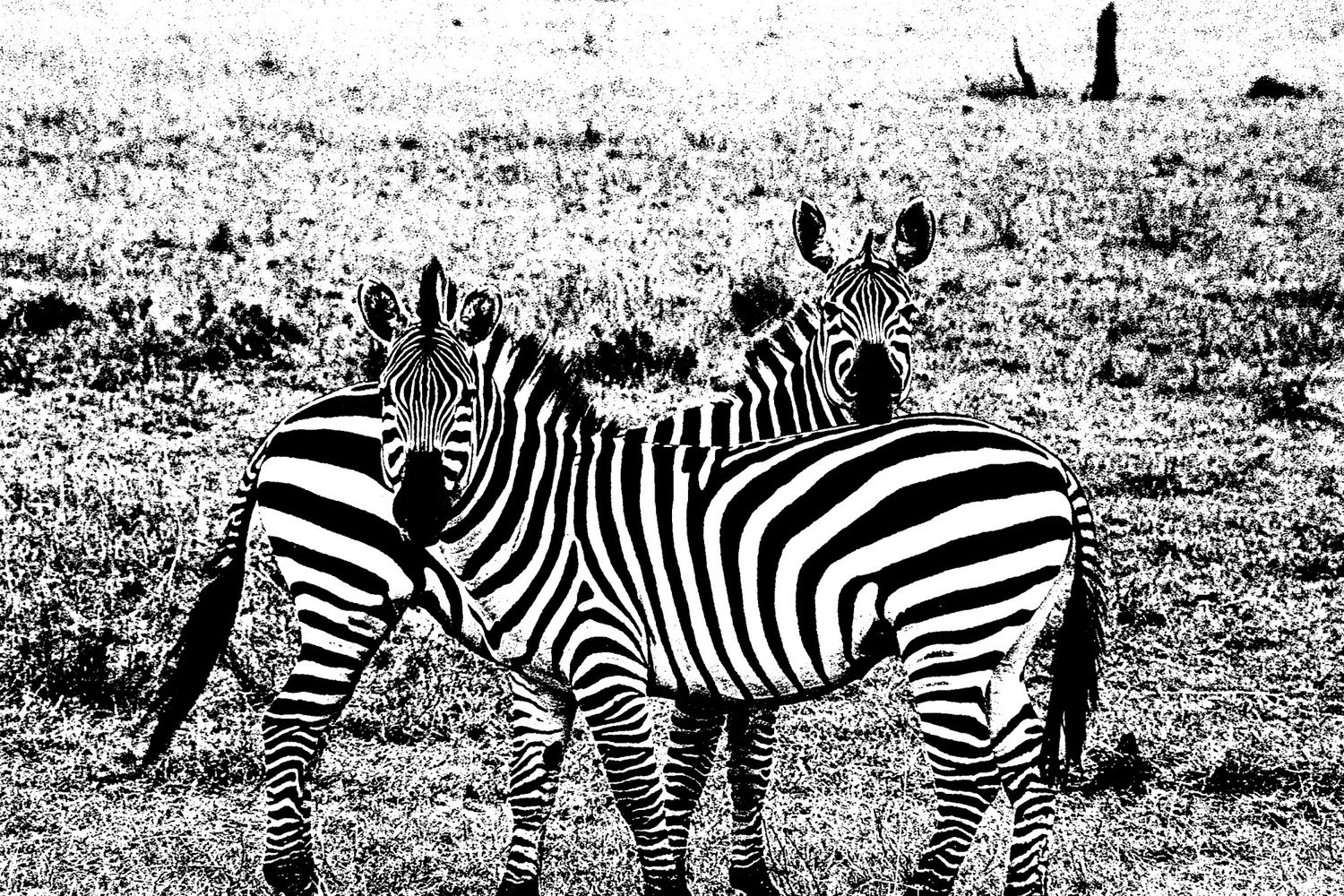 Zebra - 7, Serengeti 2016   Edition 1 of 2