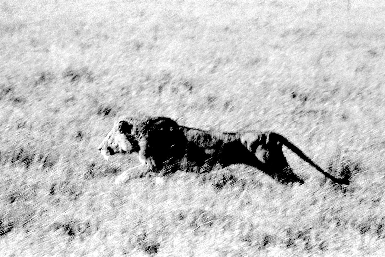 Lion - 1, Serengeti 2016   Edition 1 of 2
