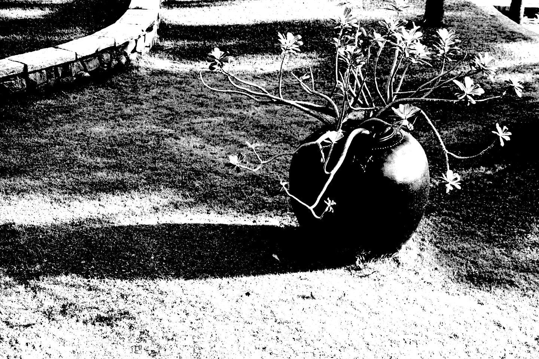 Frangipani Pot, Mahabalipuram 2020   Edition 1 of 2