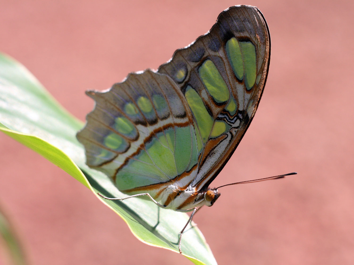 Malachite Butterfly, San Jose, Costa Rica,