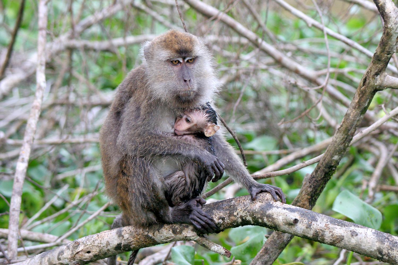 Long-tailed macaque, Kinabagatan River, Sabah, Borneo