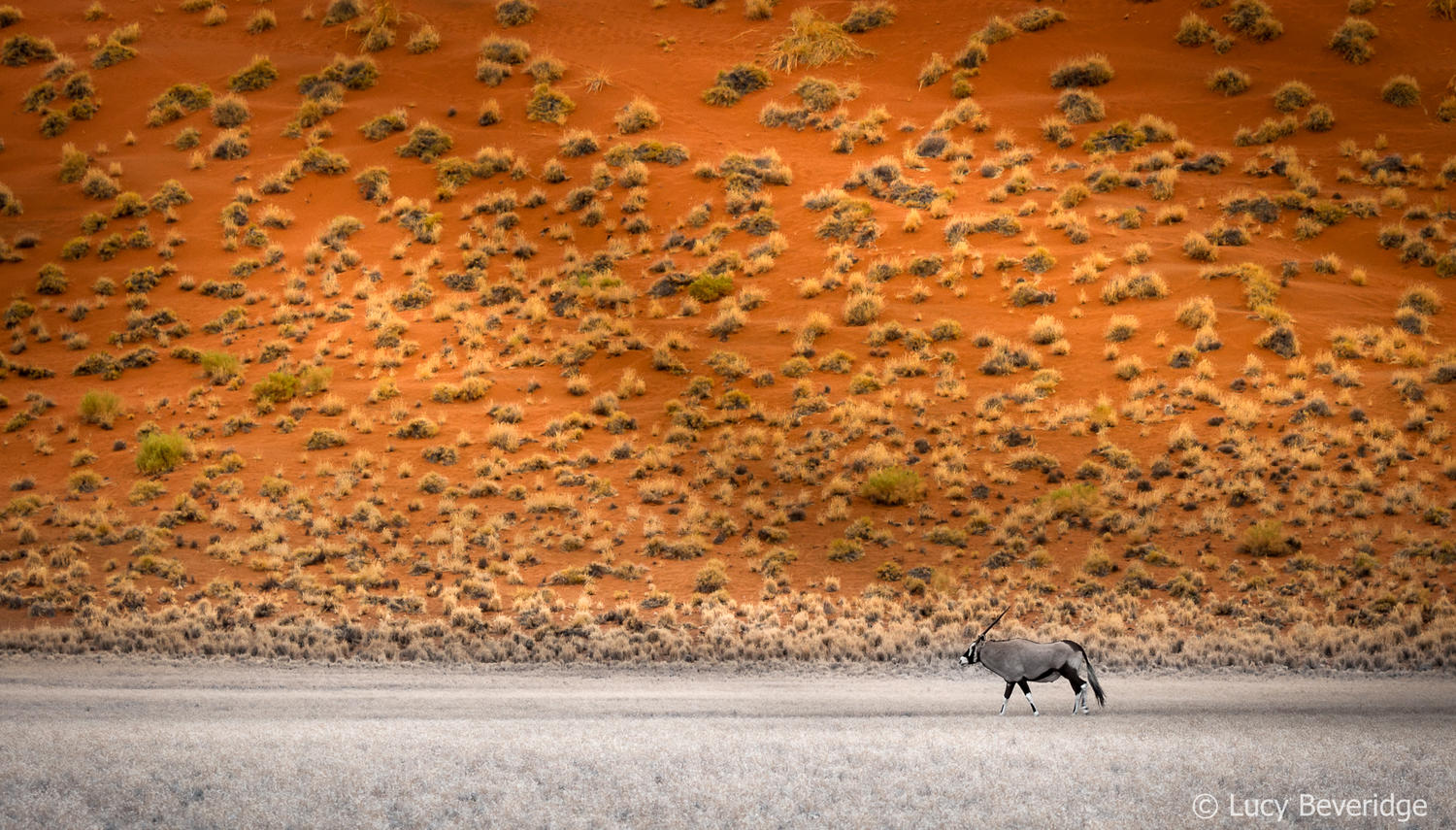Oryx by the Elim dune
