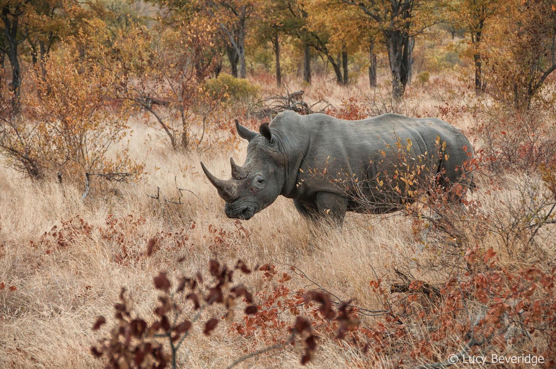 Every Rhino matters