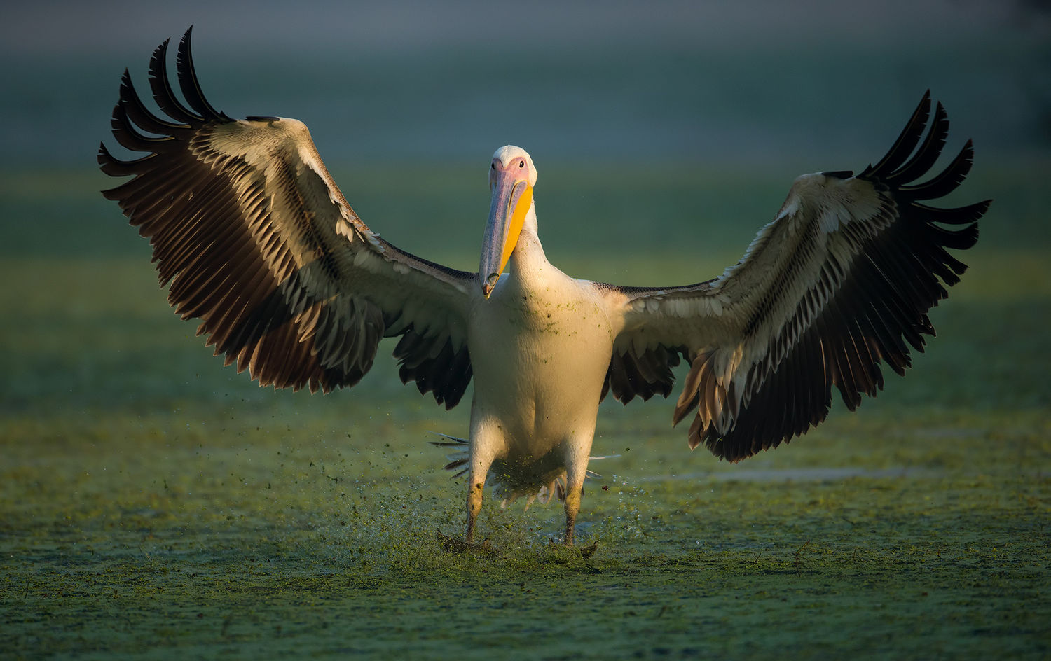 Great White Pelican or Rosy Pelican