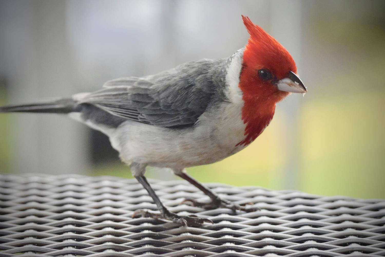 The Buckeye Cardinal