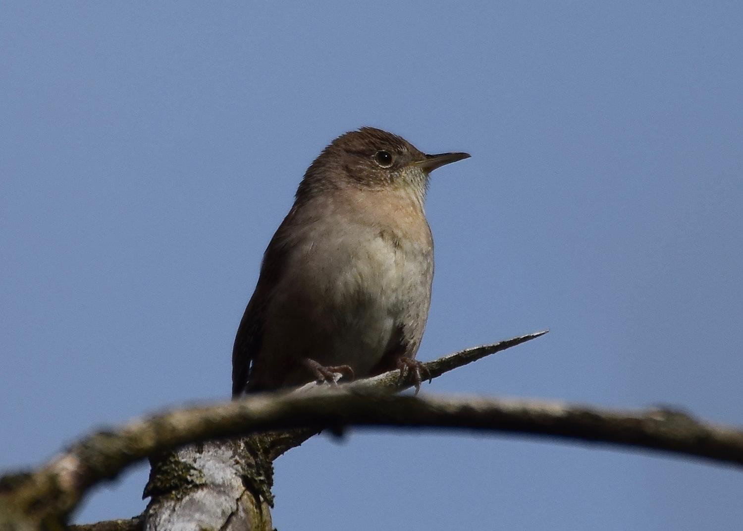 Thoughts on the House Wren