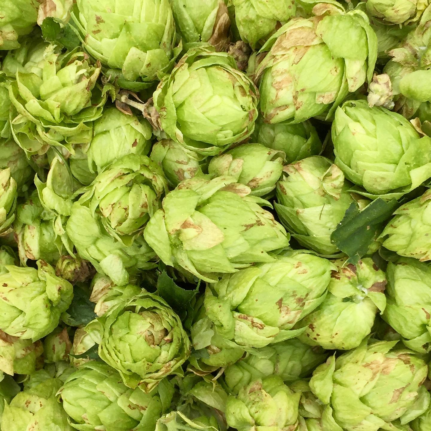 Millcreek Manor Hops Farm Harvest