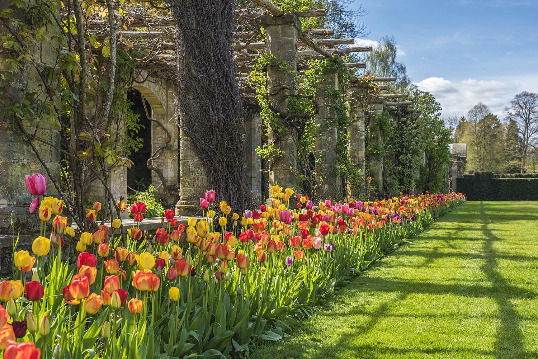 Tulips, Hever Castle, Kent