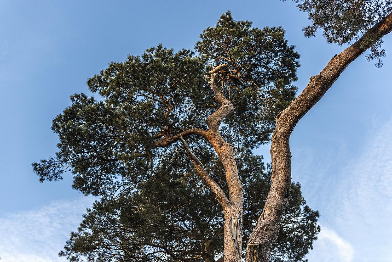 Gnarled trees, Surrey