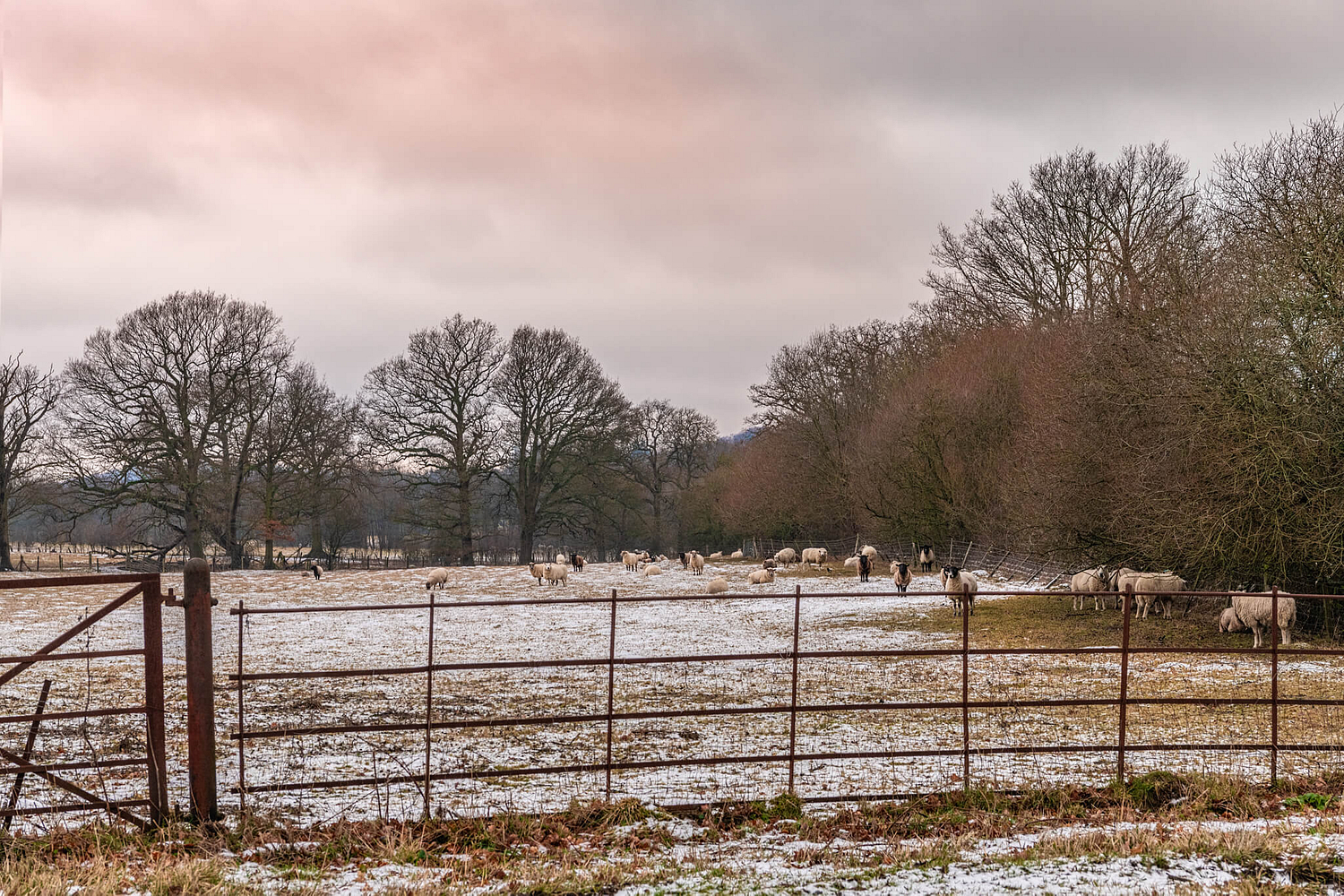 Sheep in the snow, Surrey countryside