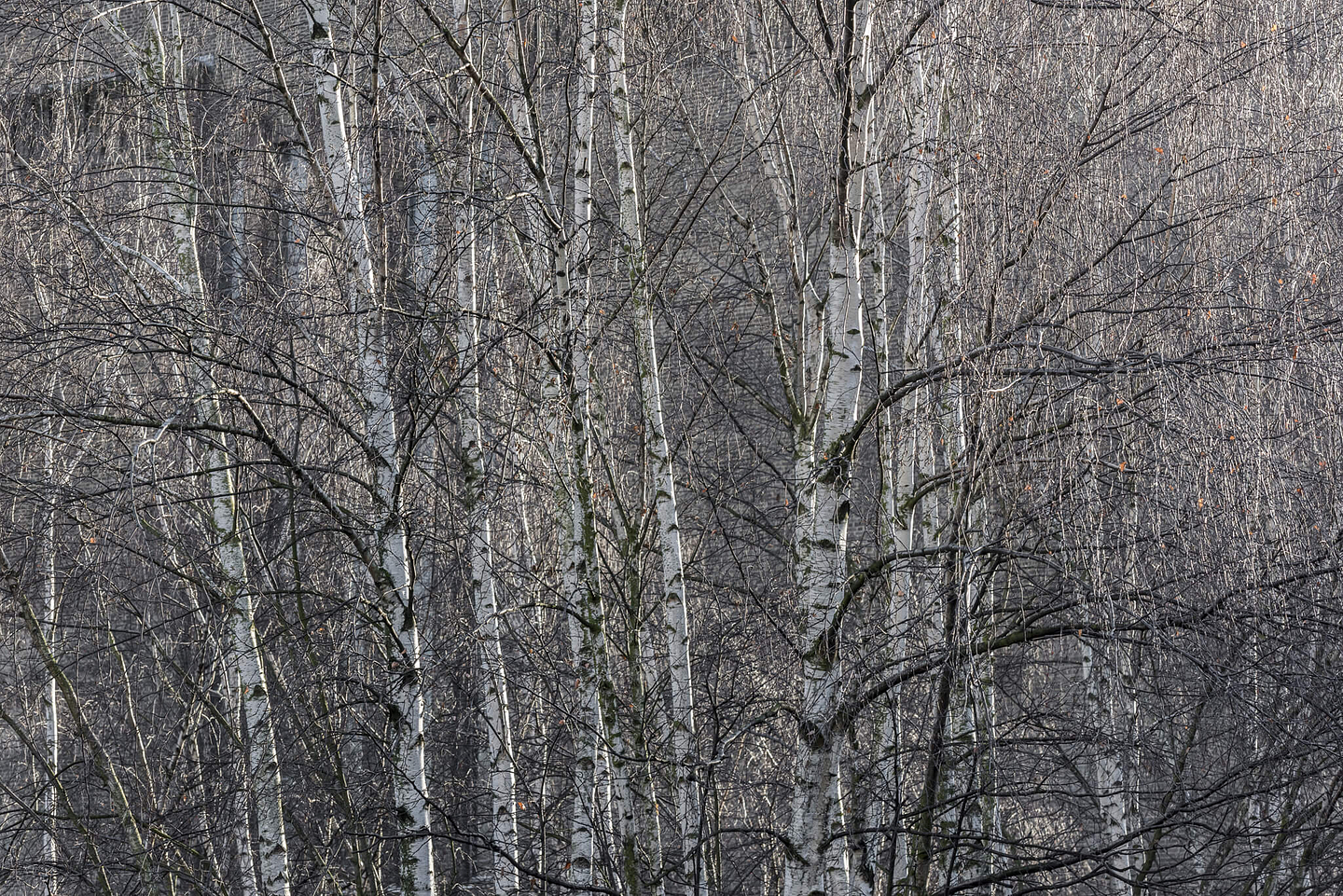 Silver birch trees in the sun, Southbank