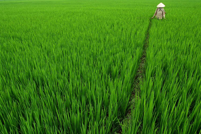 Woman in Rice Field in Hai Duong, Vietnam