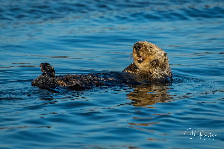 Sea Otter - Elkhorn Slough, Moss Landing, CA