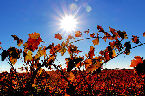 Fall Vines in Amador County