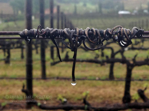Rainy Vineyard - Amador County