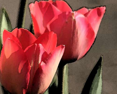 Tulips in my yard