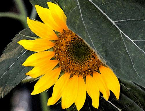 I love my sunflowers