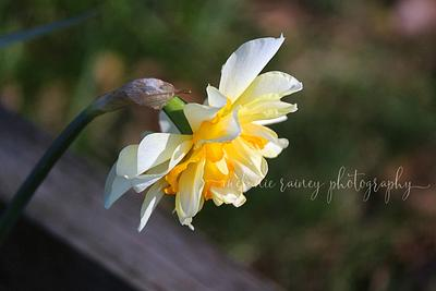 My Daffodils are blooming