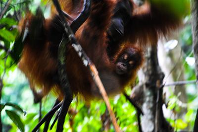 Palm Oil, Pulp & Paper, Peatlands and Oragnutans of Indonesia