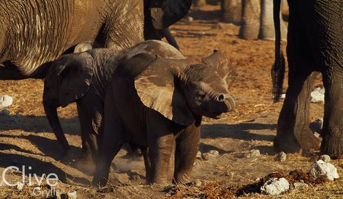 Elephants in the Etosha National Park, Namibia.