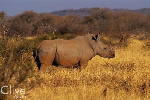 Black Rhinoceros in the Madikwe Game Reserve, South Africa.