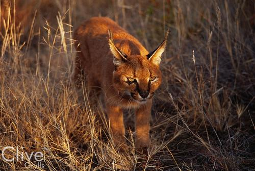 Caracal in the Madikwe Game Reserve, South Africa.