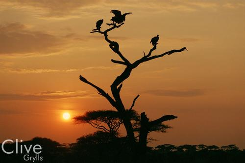 Vultures in Silhouette in the Madikwe Game Reserve, South Africa.