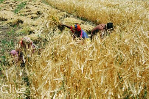 Harvesting of barley at Basgo village, Ladakh.