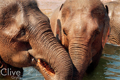 Asiatic elephants enjoying a dip in the river at the annual Elephant Festival held in Sayaboury Province.