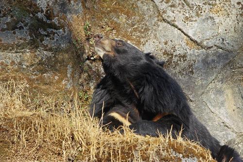 The Himalayan black bear (Ursus thibetanus laniger) in the Padmaja Naidu Himalayan Zoological Park, Darjeeling, West Bengal.