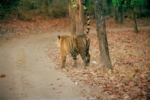 Royal Bengal tiger marking its territory in the Bandhavgahr National Park, Madhya Pradesh.