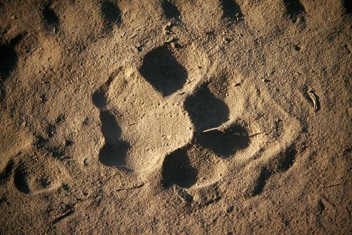 Tiger pug marks in the Ranthambhore national Park. Rajasthan.