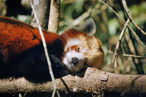 Red Panda sleeping at the the Padmaja Naidu Himalayan Zoological Park, Darjeeling, West Bengal.